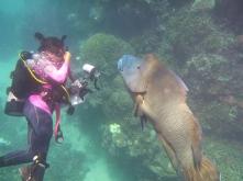 Diver with Maori wrasse