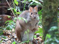 Wildlife tour - pademelon