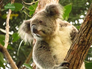 Koala at the Crystal Castle