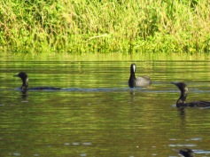 Coots and cormorants