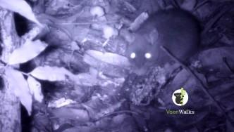 Fuscipes, Bush rat (rattus fuscipes)