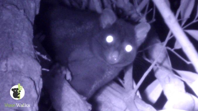 short-eared possum (Trichosurus caninus)