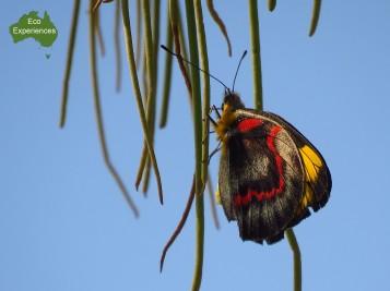 Black Jezebel butterfly (Delias nigrina)