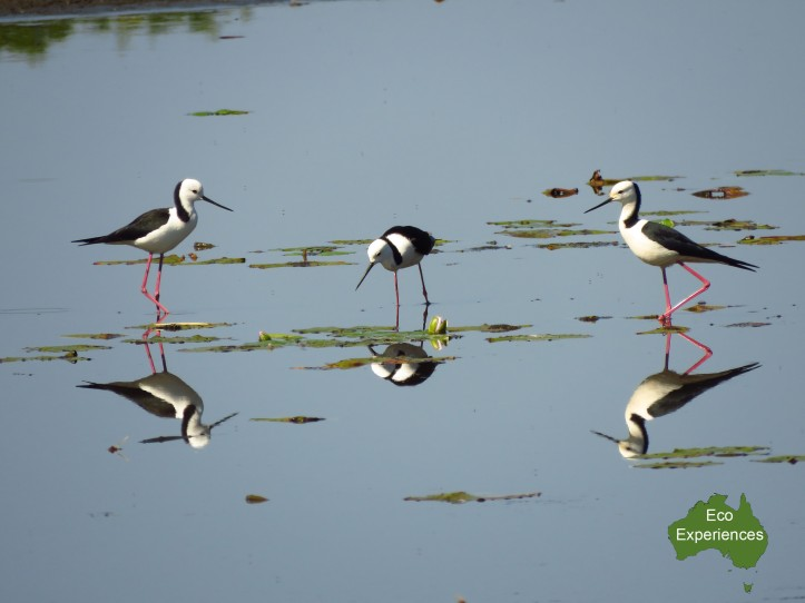 Black Winged Stilts (Himantopus himantopus)