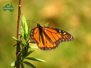 Wander butterfly (danaus plexippus).