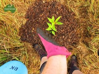 bangalow tree planting2