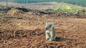 koala-empty-habitat