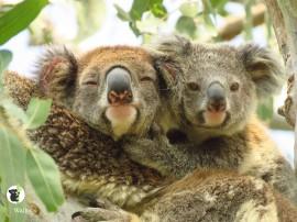 koala with joey