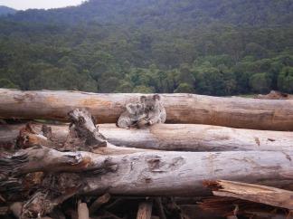 koalas-deforestation