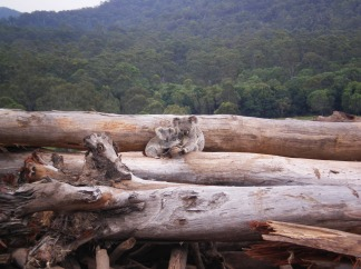 koalas-deforestation